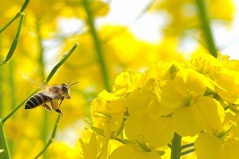 蜜を取ろうとしてアブラナに近づいているミツバチ