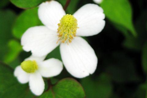 四枚の白い花びらを持ったドクダミの花