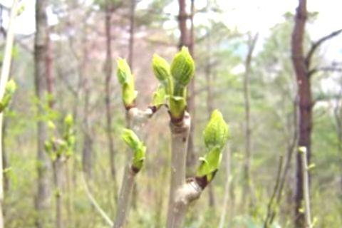 春を楽しむ山菜、コシアブラ