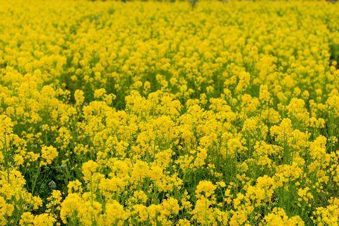 一面に広がった黄色い菜の花畑