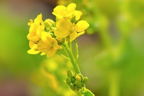 黄色いかわいい花をつける菜の花