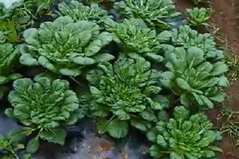 地面から生えている中国野菜のターサイ