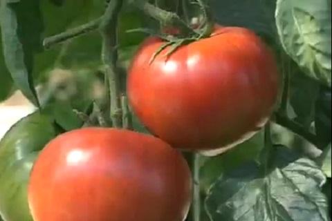 木になっているトマト