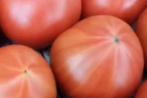 おいしいトマトはお尻がしろっぽくなっている