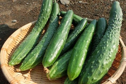 夏野菜の代表選手であるきゅうり
