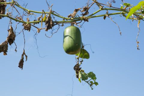 枝にぶら下がっている冬瓜
