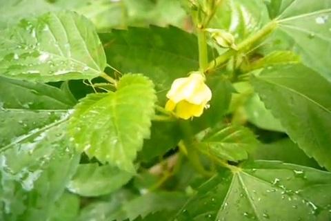 かわいらしい黄色い花を咲かせるモロヘイヤ