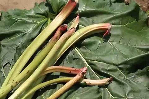 ちょっとオシャレな野菜「ルバーブ」