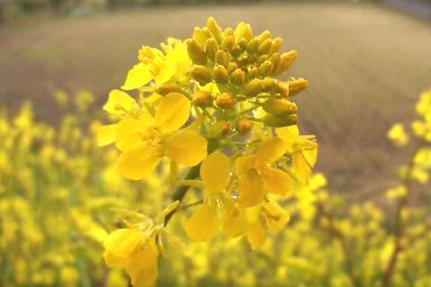 黄色い花をつける紅菜苔