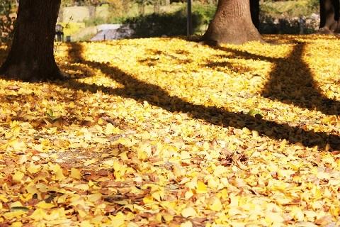銀杏とイチョウの葉